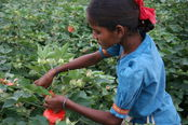 Mädchen im Saatgutfeld in Indien